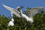 Title: The amazing two headed egret