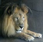 Title: The Lion in Repose