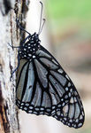 Title: Monarch in black and white