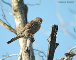 Title: Another common Kestrel