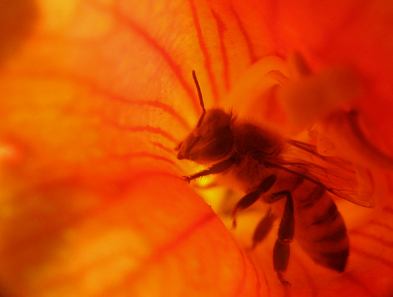 Bee inside a flower