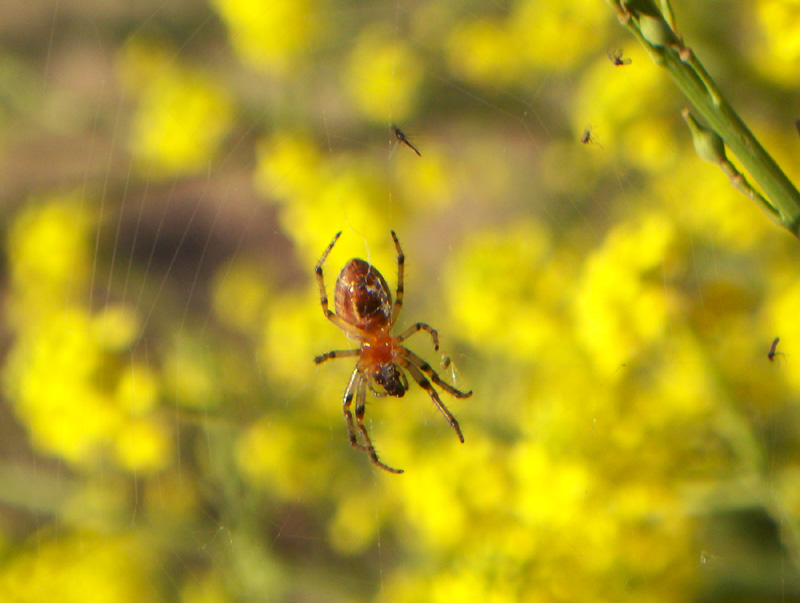 Spider over yellow