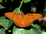 Title: Orange butterfly