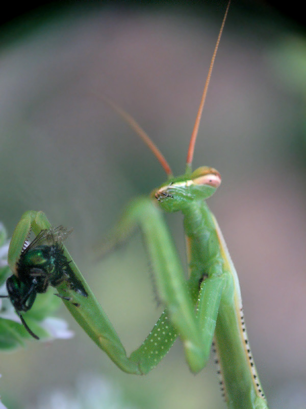 mantis eating a green bee