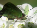 Title: Greenish butterfly