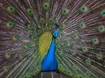 Title: Pavo real