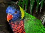 Title: Green-Naped Lorikeet