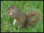 Title: Gray Squirrel