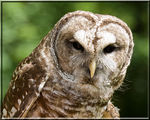 Title: Barred Owl