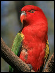 Title: Chattering Lory