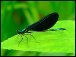 Title: Male Ebony Jewelwing