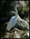 Title: Great Egret Camera: Panasonic Lumix FZ20