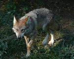Title: Mexican Wolf