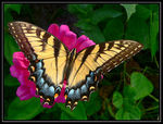 Title: Tiger Swallowtail