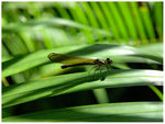 Title: Bali Dragonfly