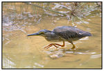 Title: Little Heron stalking