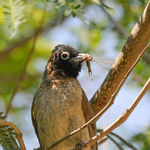 Title: White-spectacled Bulbul