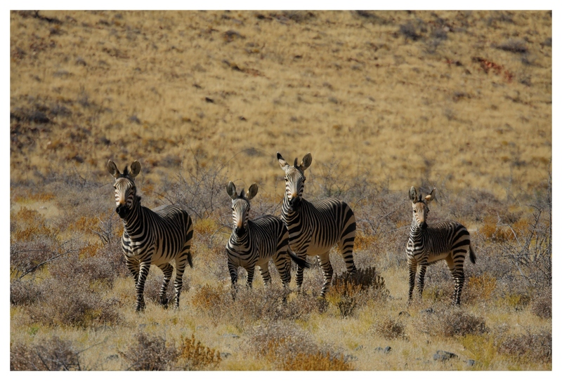 Zebras at the Nauluft