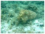 Title: Cuttlefish - First Palau Pic !!!