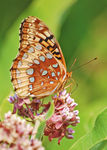 Title: Great Spangled FritillaryNikon D50