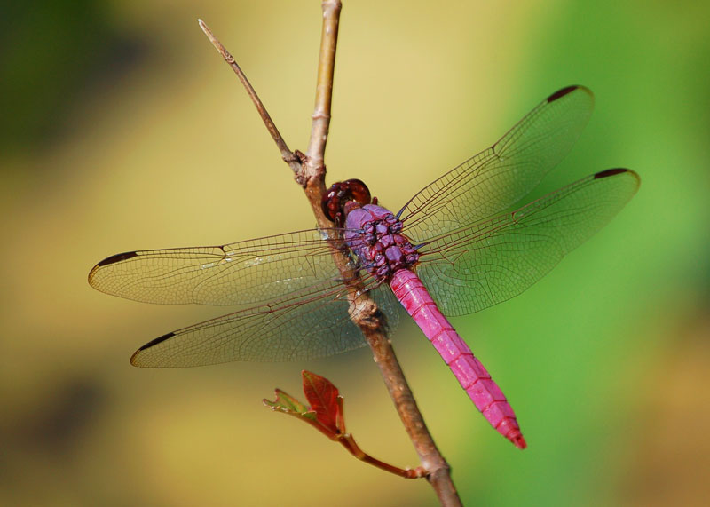 Roseate Skimmer-Pretty in Pink