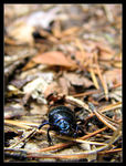 Title: Geotrupes vernalis