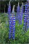 Title: Garden cultivars or Lupinus polyphyllus