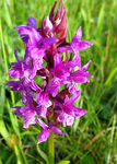 Title: broad-leaved marsh orchid