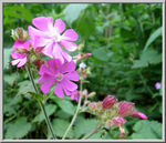 Title: red campion