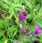 Title: marsh thistle with hover fly