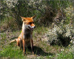 Title: sitting fox