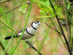 Title: Double-barred Finch