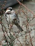 Title: House Sparrow 2