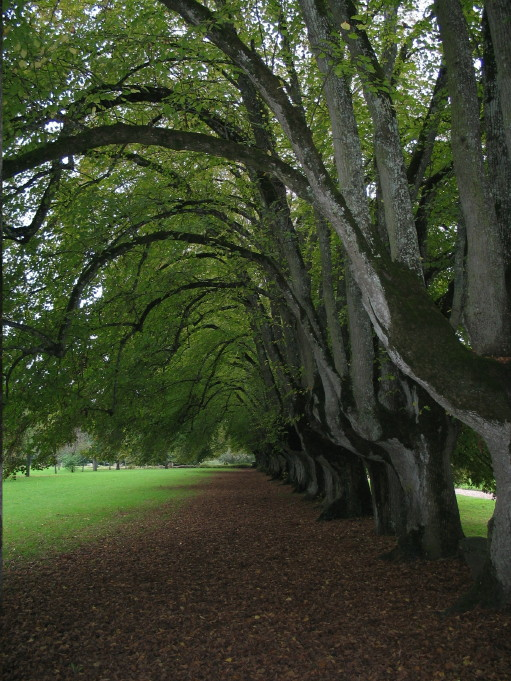 Walk of lime trees