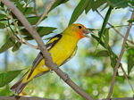 Title: Western Tanager