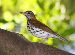 Title: Wood Thrush