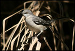 Title: * Northern Mockingbird *