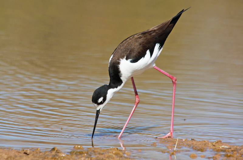 * Black-necked Stilt *