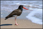 Title: American Oystercatcher