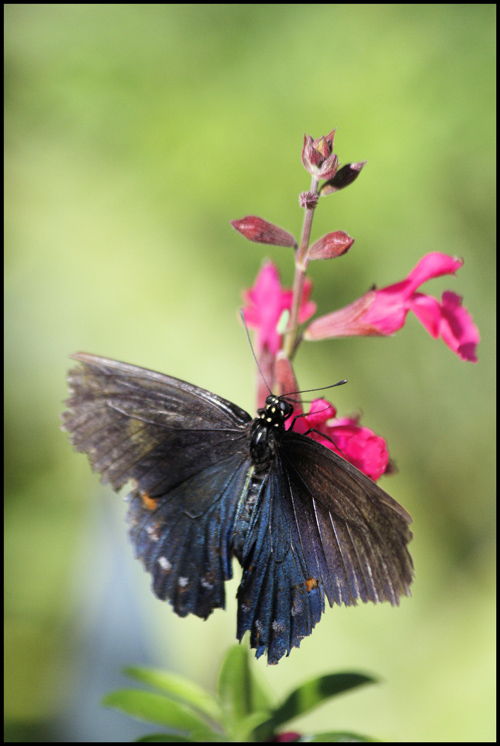 * Pipevine swallowtail  *