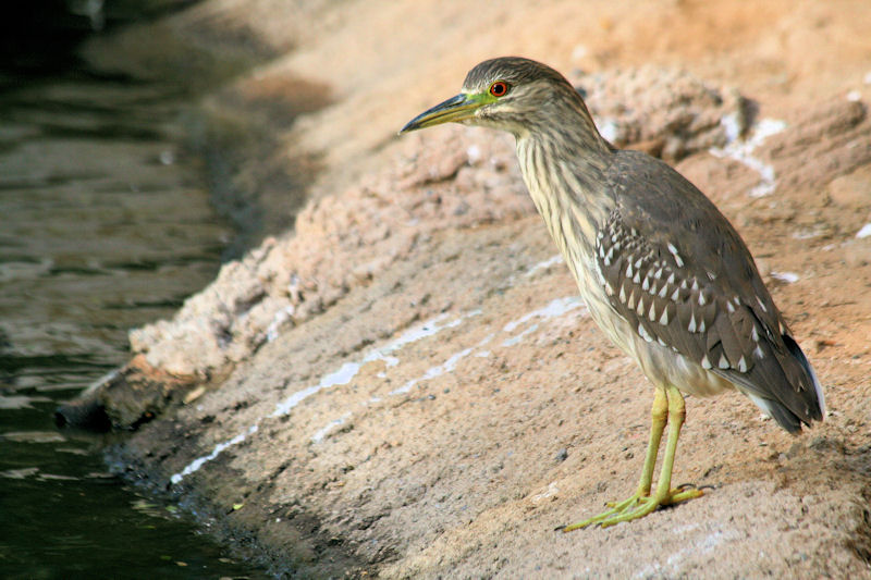 Young Black-crowned Night-Heron