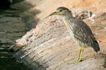 Title: Young Black-crowned Night-Heron