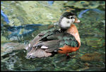 Title: African Pygmy Goose