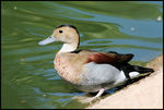 Title: Ringed Teal