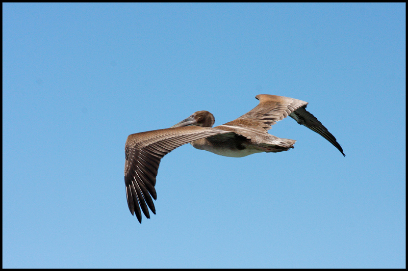Brown Pelican for Asbed
