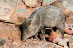 Title: Collared Peccary