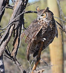 Title: Rocky Mountains Great Horned Owl