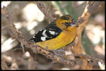 Title: Black-headed Grosbeak