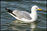 Title: California Gull