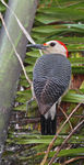 Title: Golden-fronted  Woodpecker